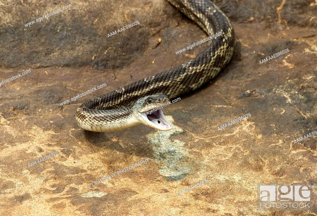 Texas rat snake (Elaphe obsoleta lindheimerii) Controlled