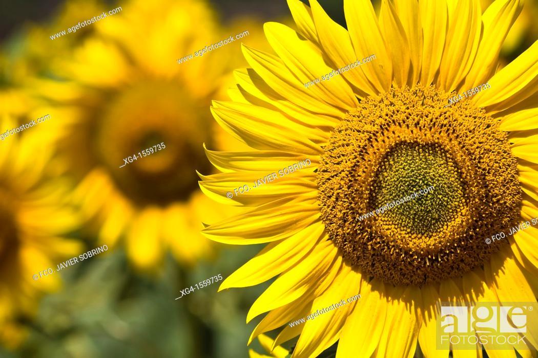 Stock Photo: Sunflowers - La Bureba - Burgos - Castilla y Leon - Spain - Europe.