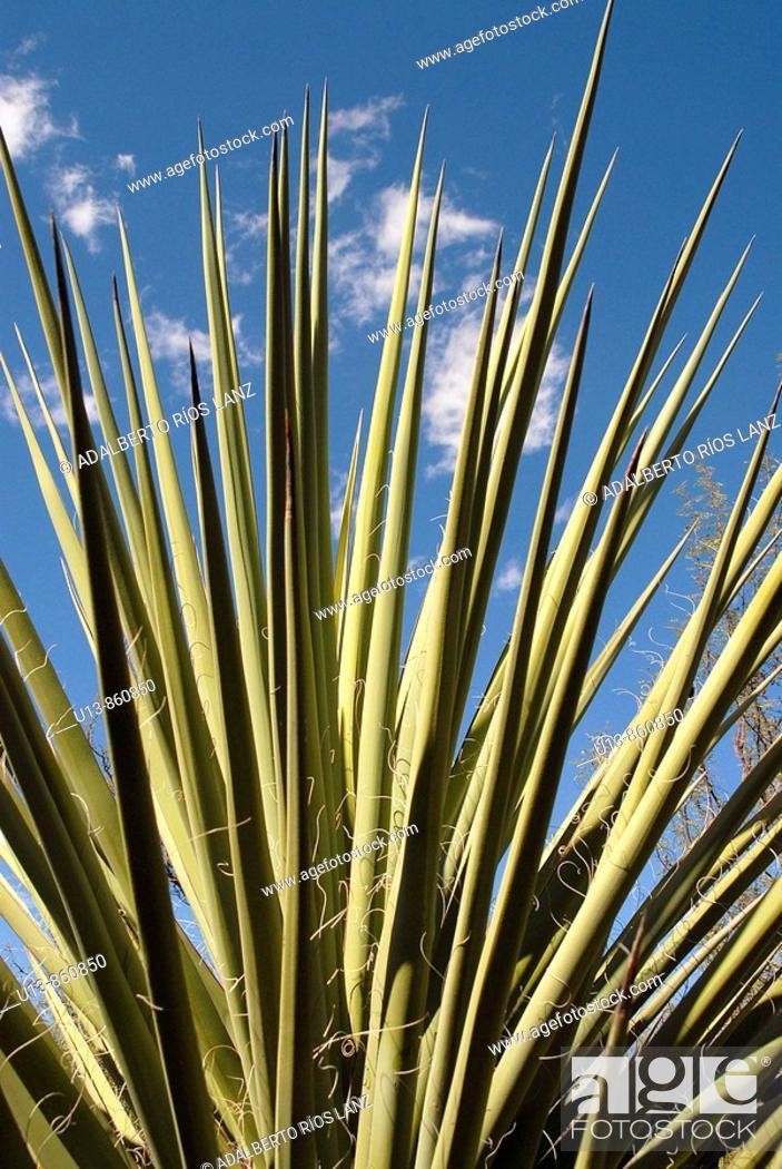 Stock Photo: Yucca Plant at Tohono Chul Park, Tucson, Arizona, United States.