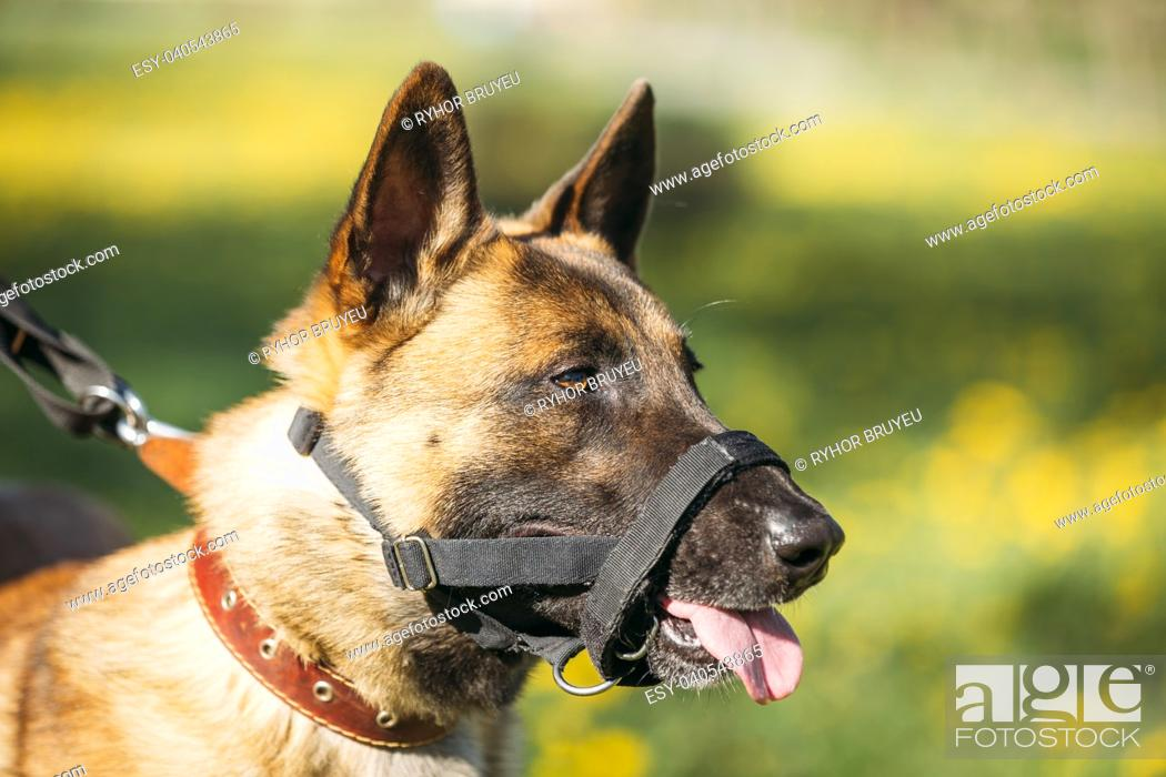 Close Up Portrait Of Malinois Dog With