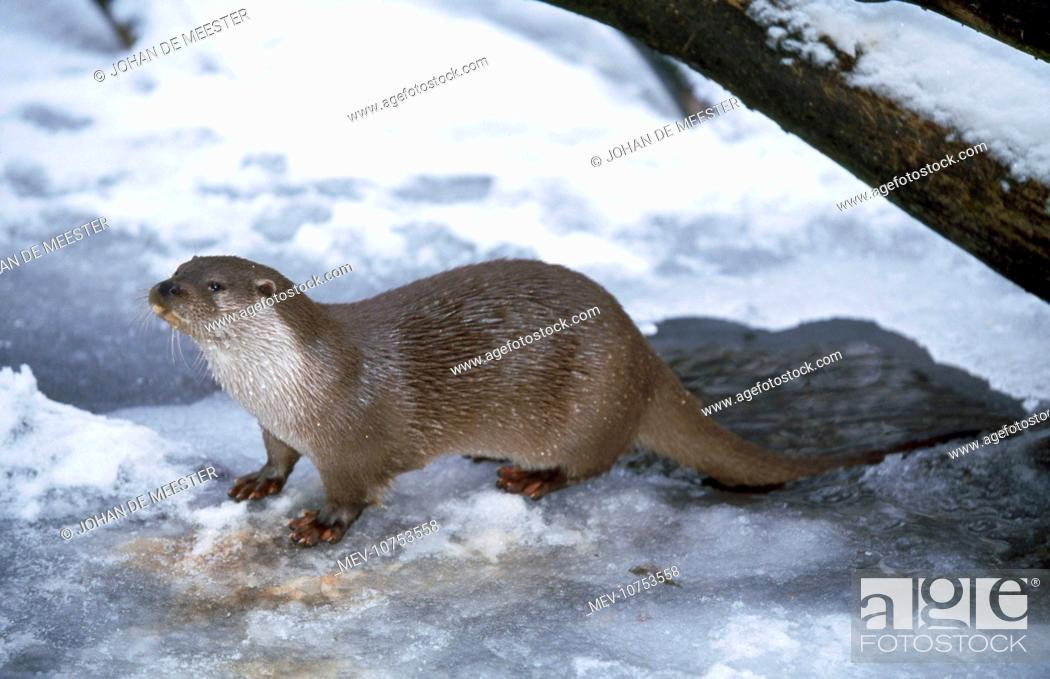 Stock Photo: OTTER - ON ICE (Lutra lutra).