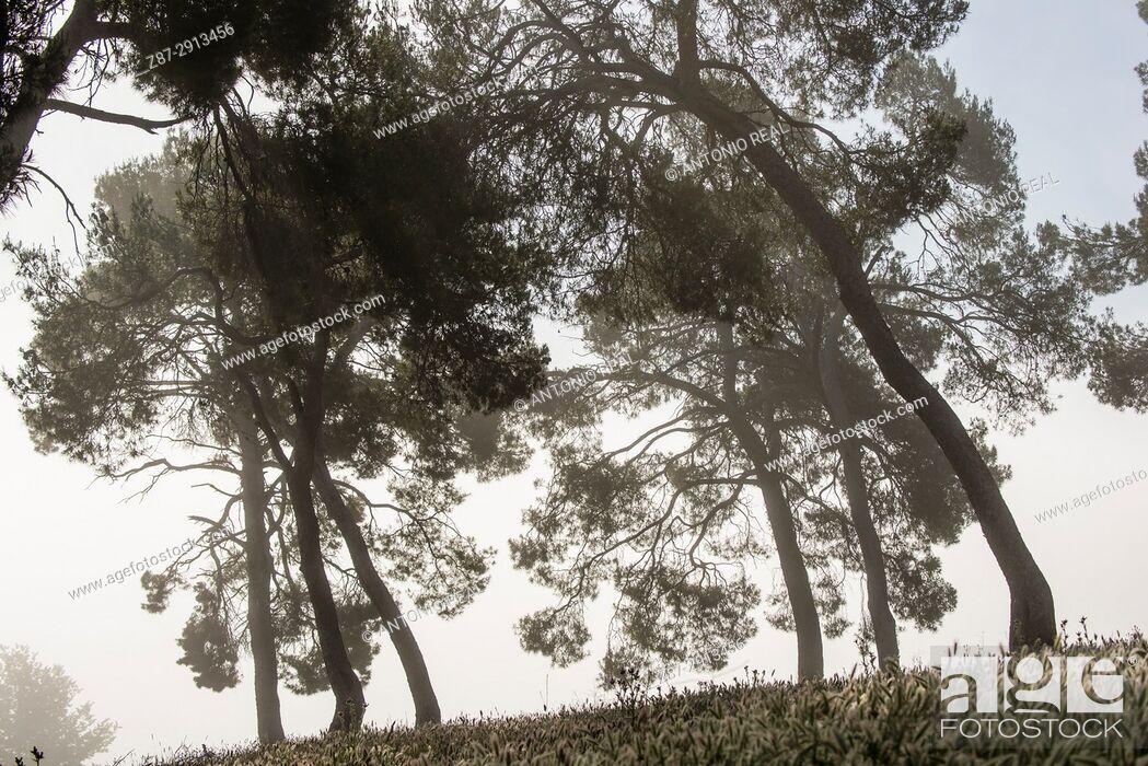 Stock Photo: Pine trees, Almansa, Albacete, Castile-La Mancha, Spain.