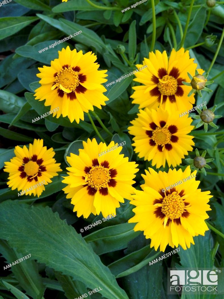 Coreopsis Baby Sun