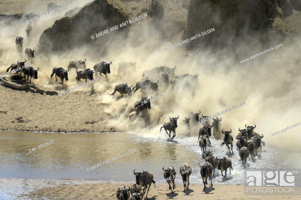 Stock Photo: Blue wildebeest, brindled gnu (Connochaetes taurinus) herd crossing the Mara river during the great migration, Serengeti national park, Tanzania.