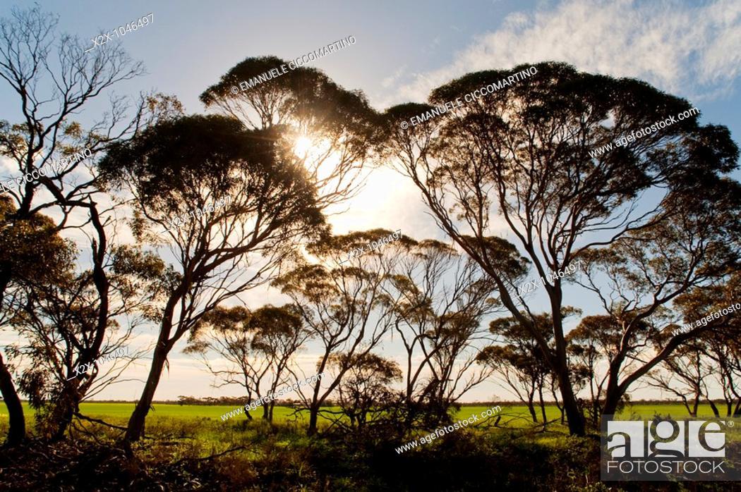 Stock Photo: Eucalyptus trees, Pinnaroo, South Australia, Australia.