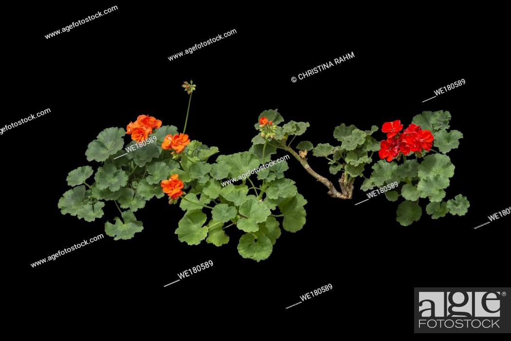 Stock Photo: Red geranium flowers isolated on black.