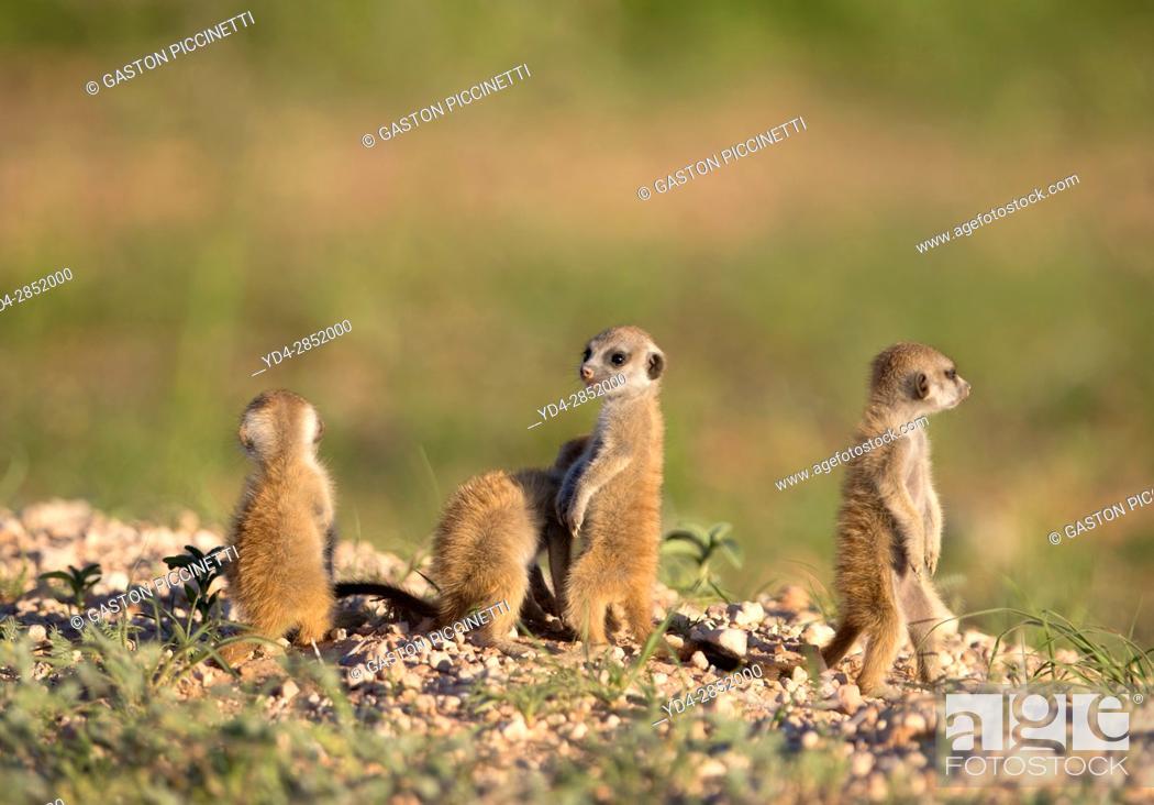 Stock Photo: Suricate (Suricata suricatta) - Youngs, Kgalagadi Transfrontier Park, Kalahari desert, South Africa/Botswana.