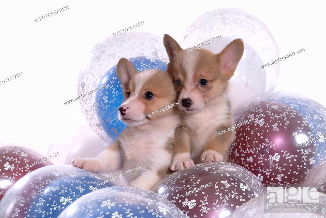 Stock Photo: balloon, puppy, canines, domestic, corgi.