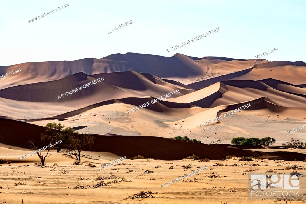 Stock Photo: NAMIBIA, SOSSUSVLEI, Died Camel thorns in front of a star dune. - SOSSUSVLEI, NAMIB, Namibia, 07/01/2018.