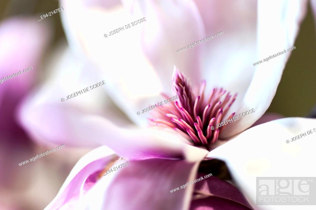 Imagen: Close up of a saucer magnolia flower.