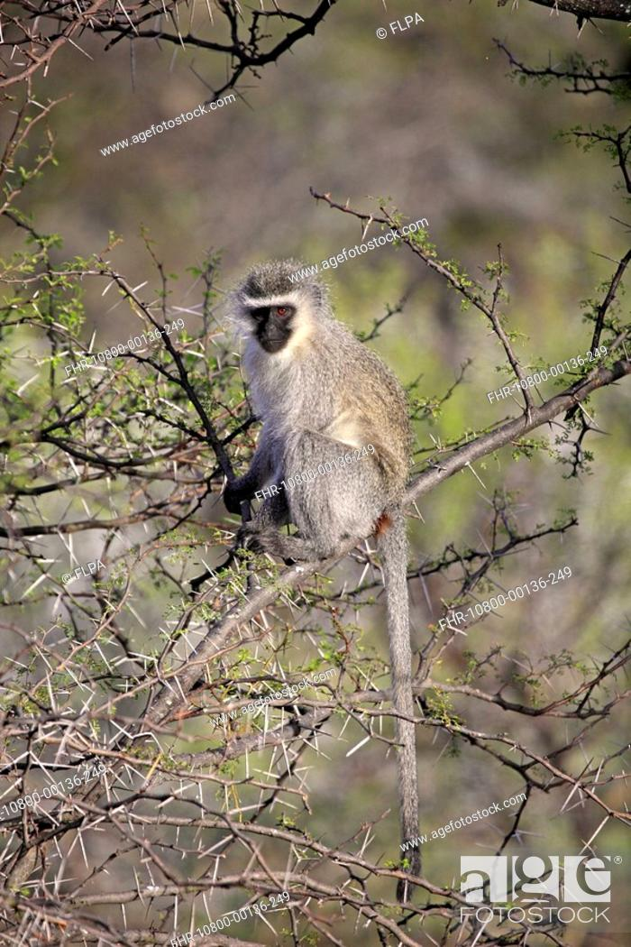 Stock Photo: Vervet Monkey Chlorocebus aethiops adult, sitting in thorn tree, Mountain Zebra N P , Eastern Cape, South Africa.