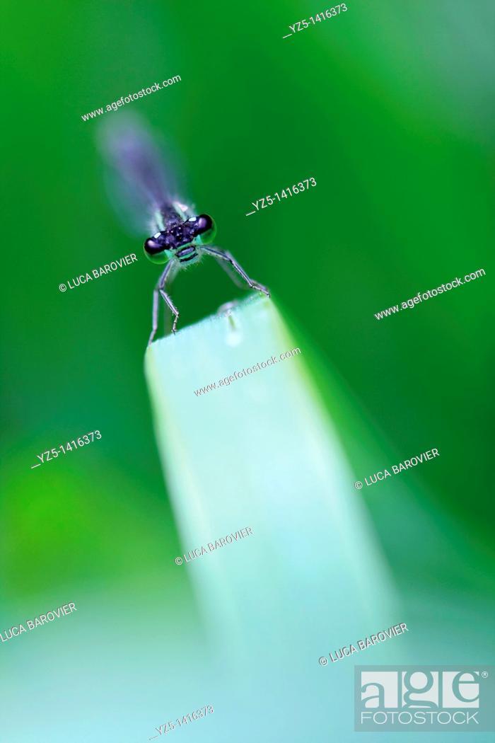 Stock Photo: Ischnura elegans - Blue tailed damselfly - Roller coaster.
