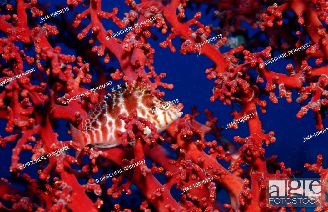 Stock Photo: action, camouflage, Cirrhitichthys falco, coral fish, coral reef, diving, Dwarf hawkfish, fish, holiday, holidays, I.