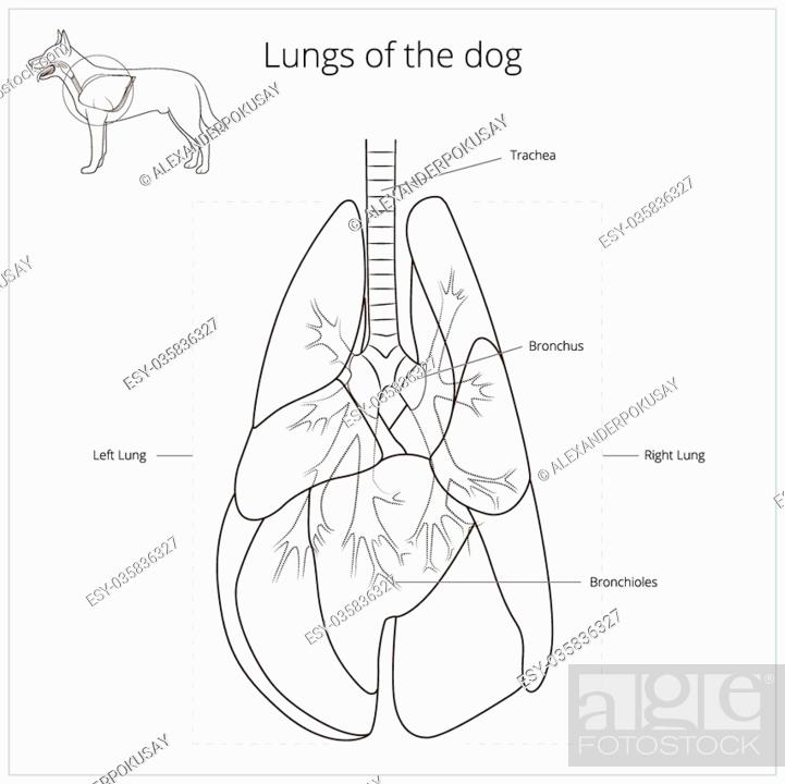 Diagram Of The Lung