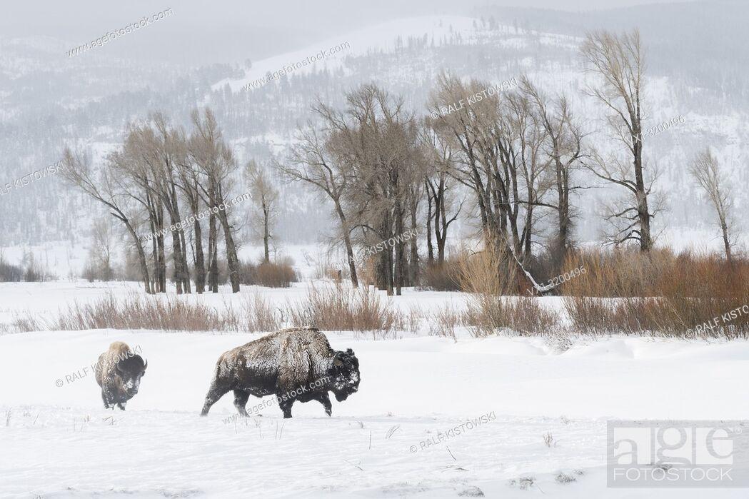 Stock Photo: American Bison ( Bison bison ) in typical surrounding, walking through snow, Lamar Valley, Yellowstone, Wyoming, USA. .