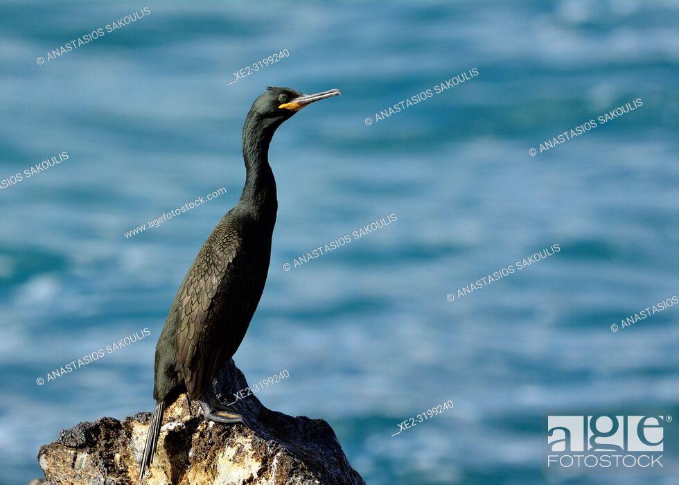 Stock Photo: European shag or common shag - Phalacrocorax aristotelis, Crete.
