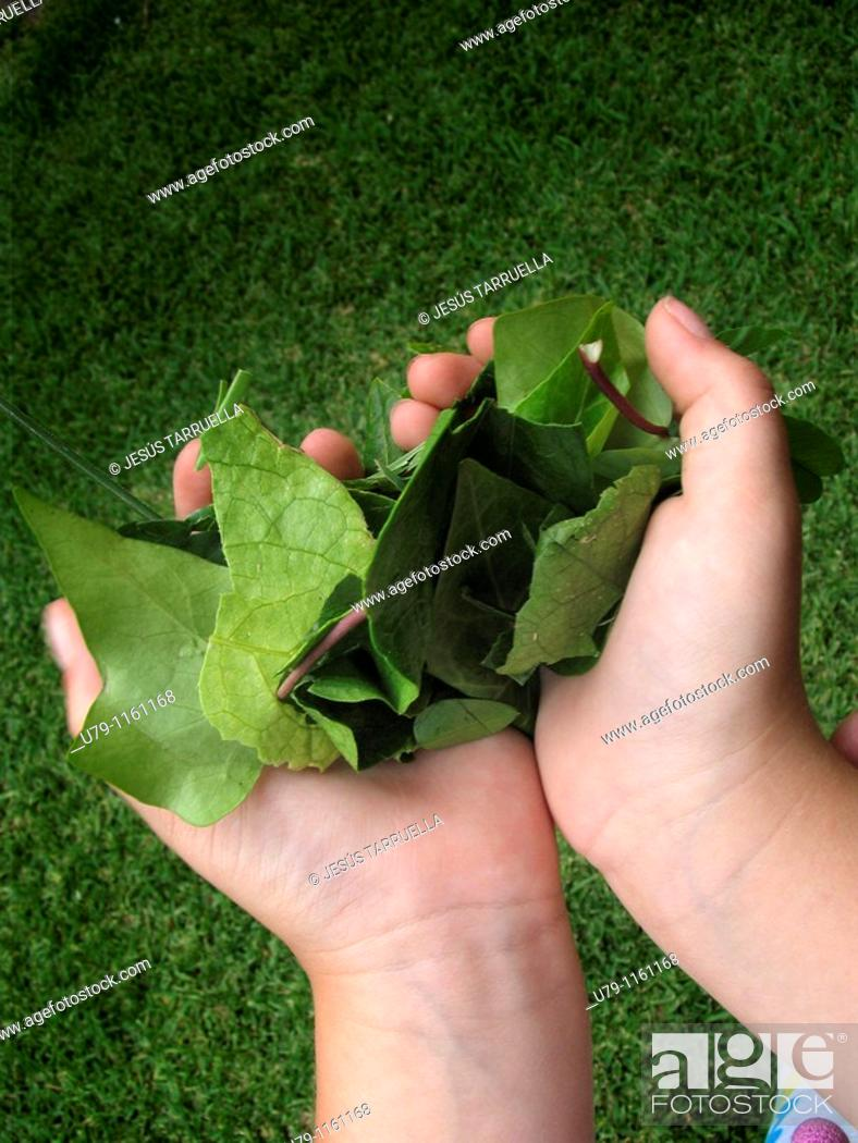 Stock Photo: Hand girl with tree leaves.