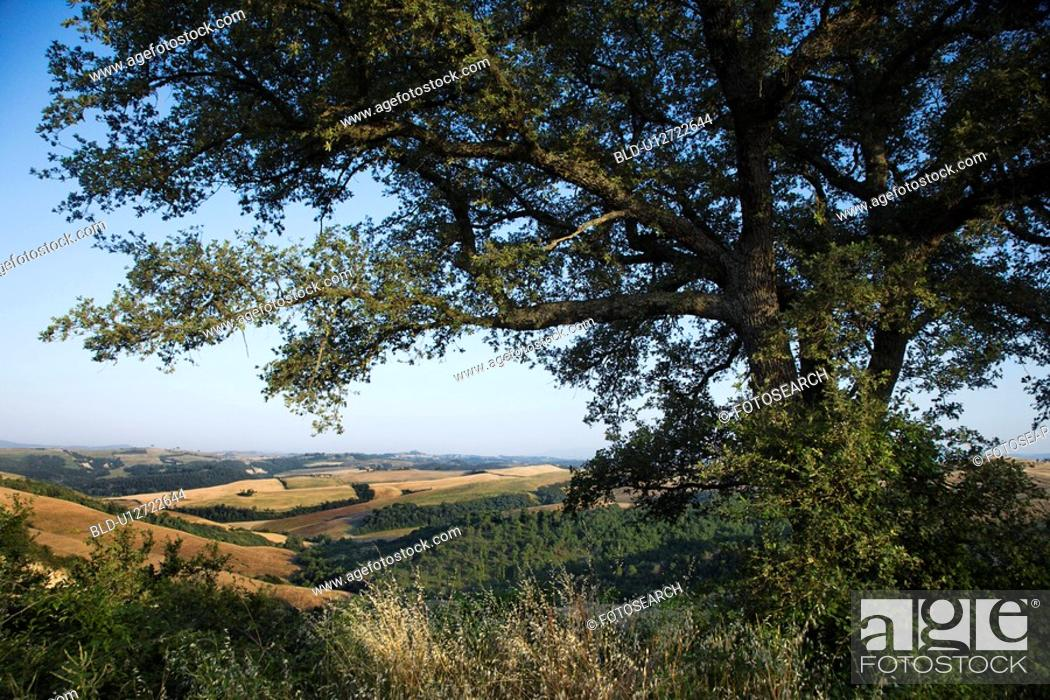 Stock Photo: Large oak tree growing in the rolling hills of Tuscany, Italy.