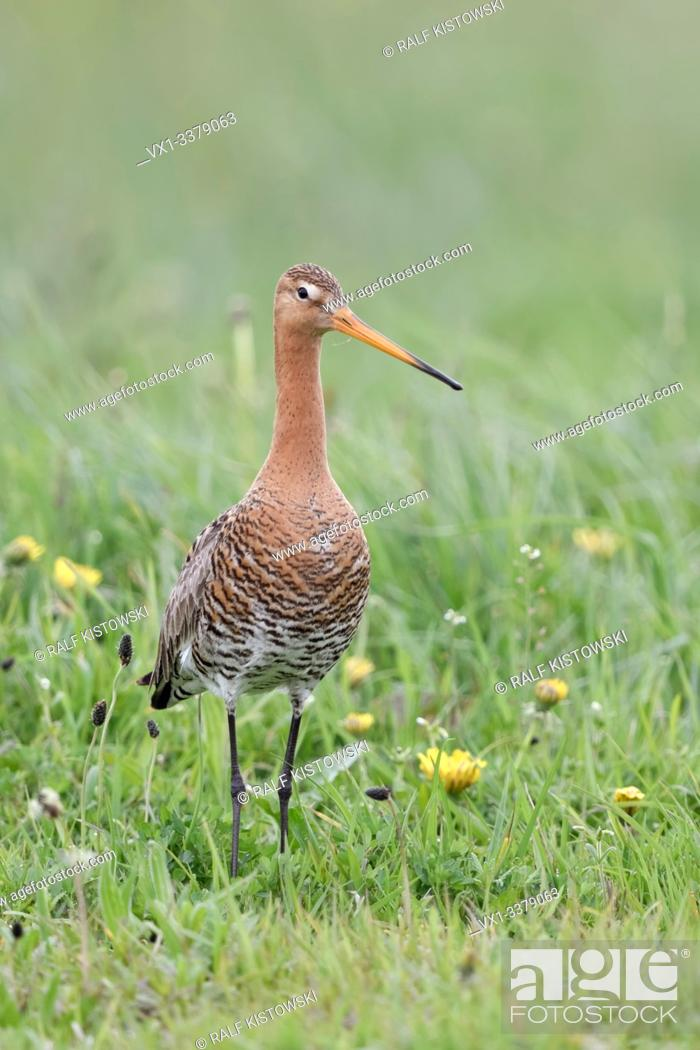 Stock Photo: Black-tailed Godwit / Uferschnepfe ( Limosa limosa), adult, standing stretched in a vernal flowering dandelion meadow, watching around attentively, wildlife.