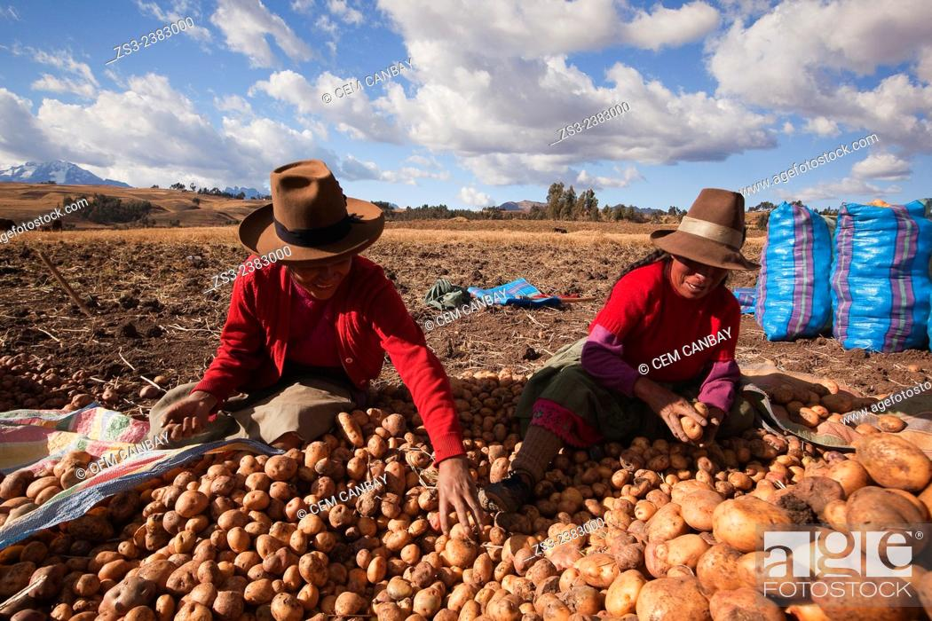 Stock Photo: Indigenous people of Sacred Valley picking up potatoes, Cusco, Peru, South America.