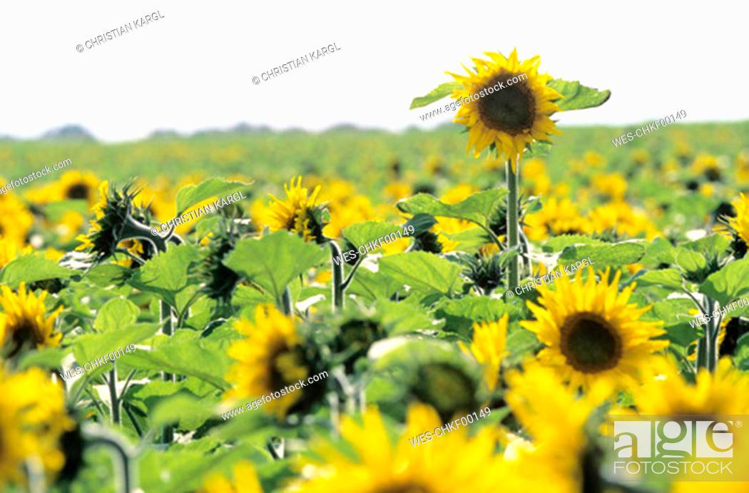 Stock Photo: Sunflower field.