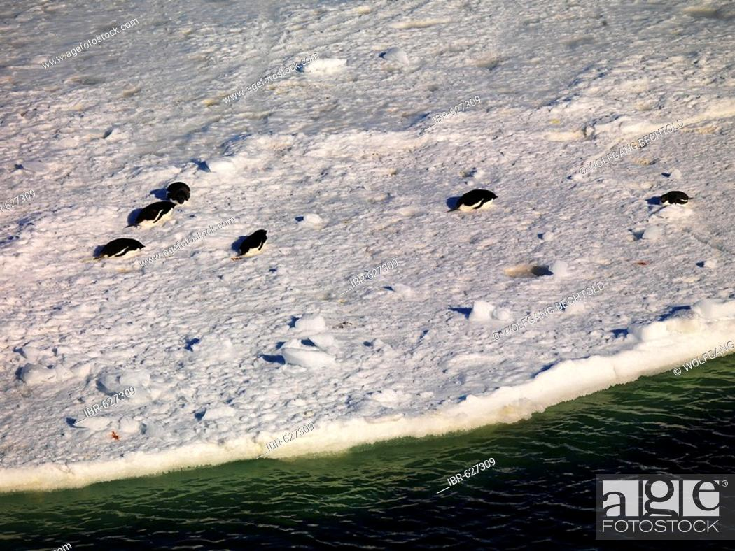 Stock Photo: Emperor Penguins (Aptenodytes forsteri) walking over sea ice near Cape Washington, Antarctica.