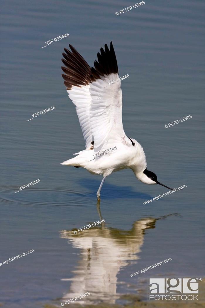 Stock Photo: Avocet Recurvirostra avosetta doing a wing stretch Titchfield Haven Hampshire.