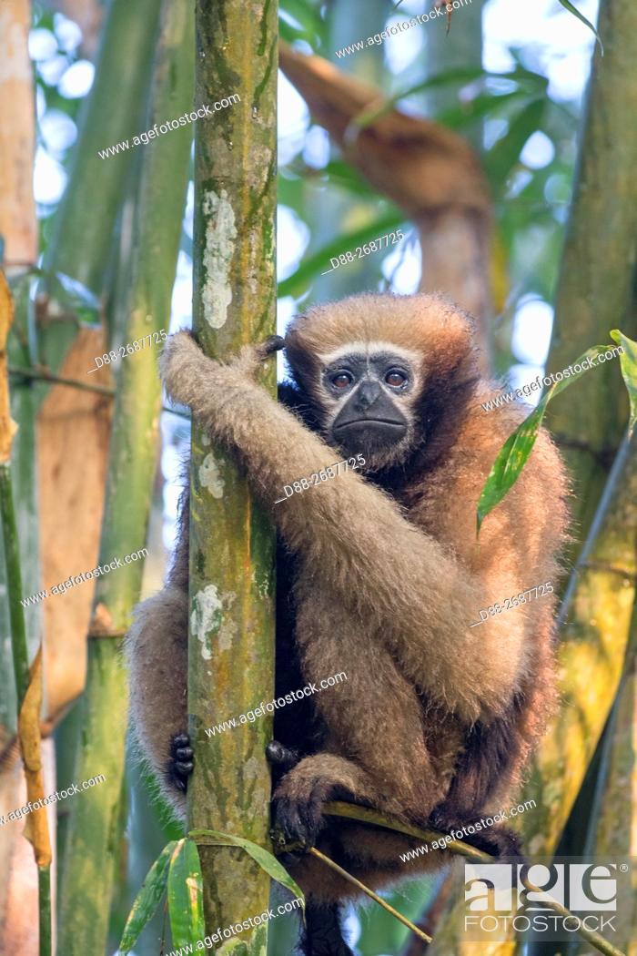 Stock Photo: South east Asia, India, Tripura state, Gumti wildlife sanctuary, Western hoolock gibbon (Hoolock hoolock), adult female with baby.