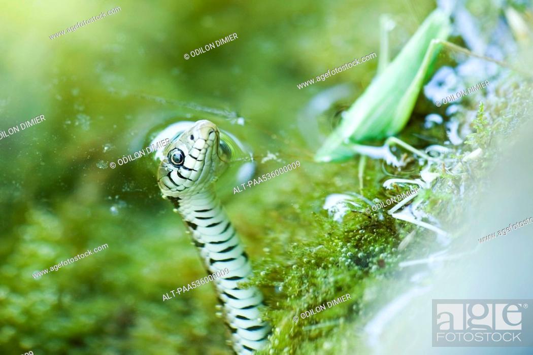 Stock Photo: Northern Water Snake Nerodia sipedon hunting grasshopper.