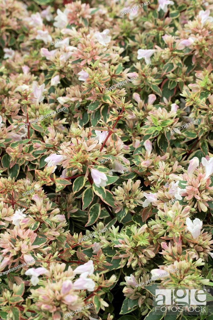 Abelia Sunshine Daydream Stock Photo Picture And Rights Managed