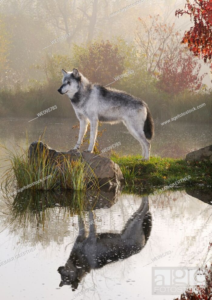 Stock Photo: Backlit Gray Wolf standing on rock over still water at dawn with mist and Fall colors.