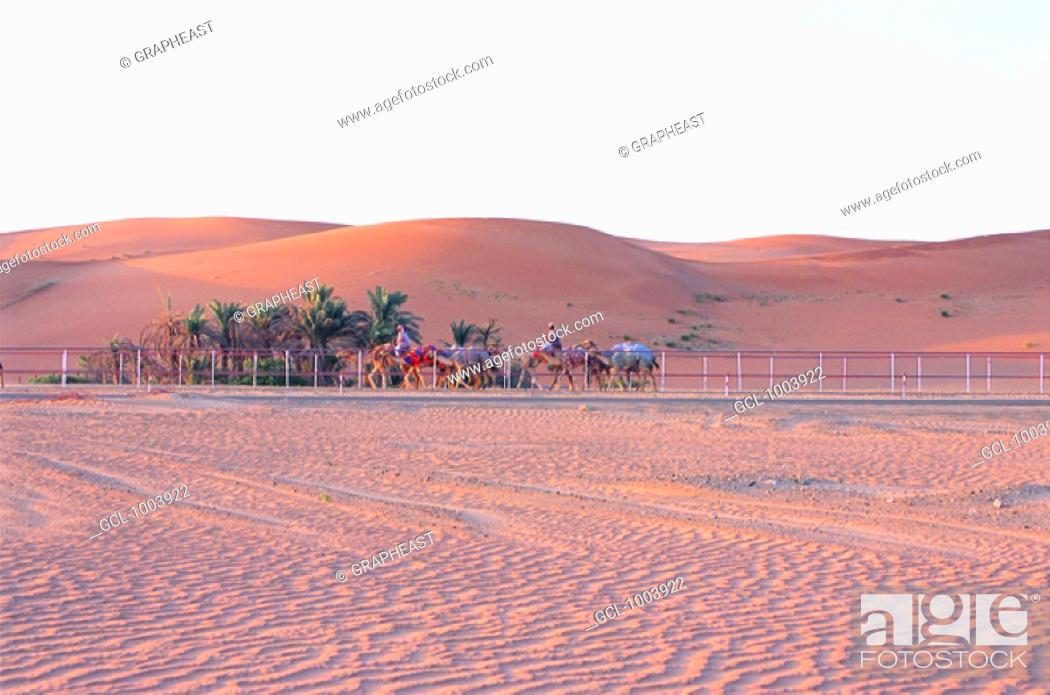 Stock Photo: Camel training in the desert near Al Ain, United Arab Emirates.