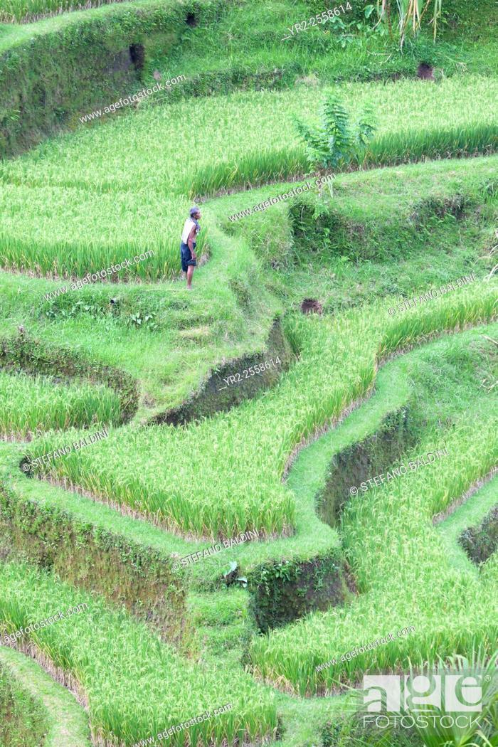 Stock Photo: Rice terraces near Tegallalang, Bali, Indonesia.