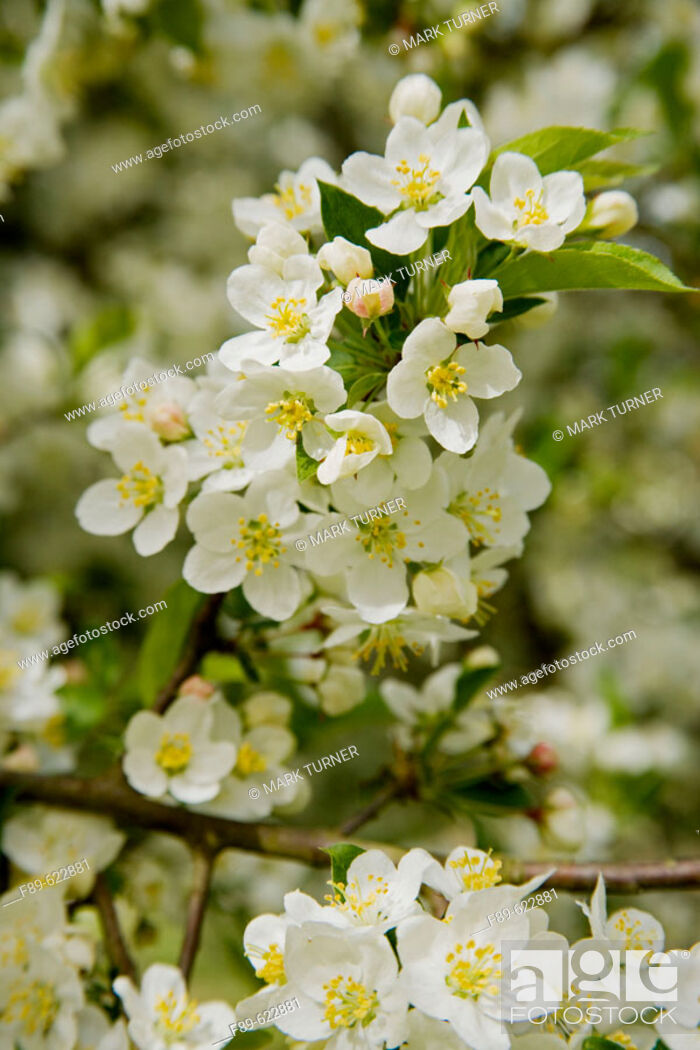 Stock Photo: Sargent's Crabapple blossoms (Malus sargentii). VanDusen, Vancouver, BC.
