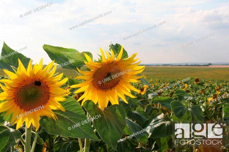Stock Photo: Sonnenblumenfeld.