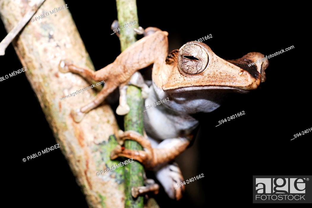 Imagen: File-eared Tree Frog (Polypedates otilophus) in Kubah national park, Sarawak, Malaysia, Borneo.