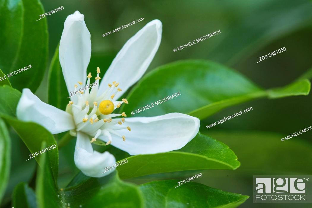 Stock Photo: A lemon blossom.