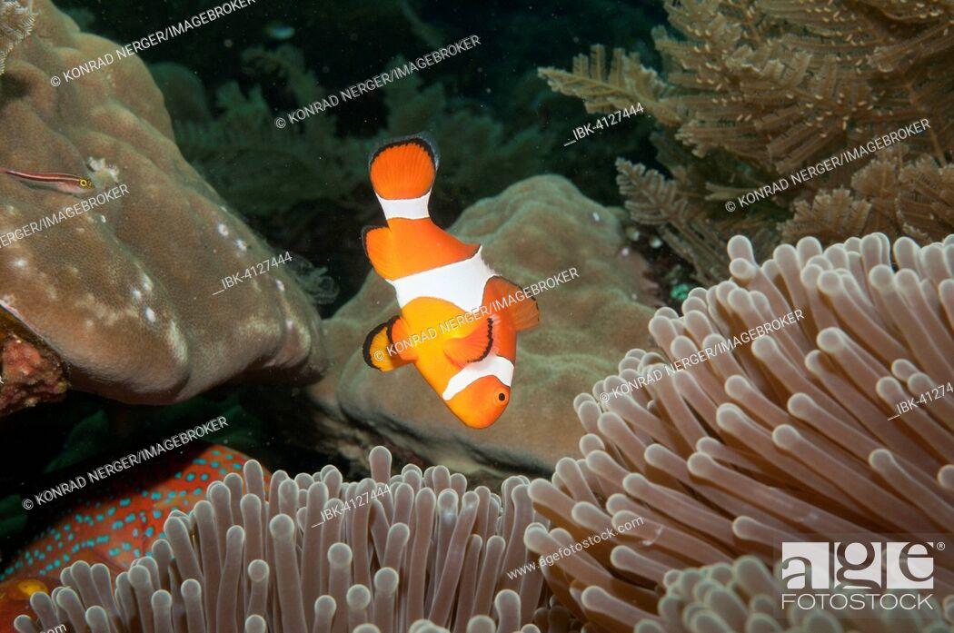 Stock Photo: Ocellaris clownfish (Amphiprion ocellaris) in Sea Anemone (Heteractis spec.), Bali, Indonesia.