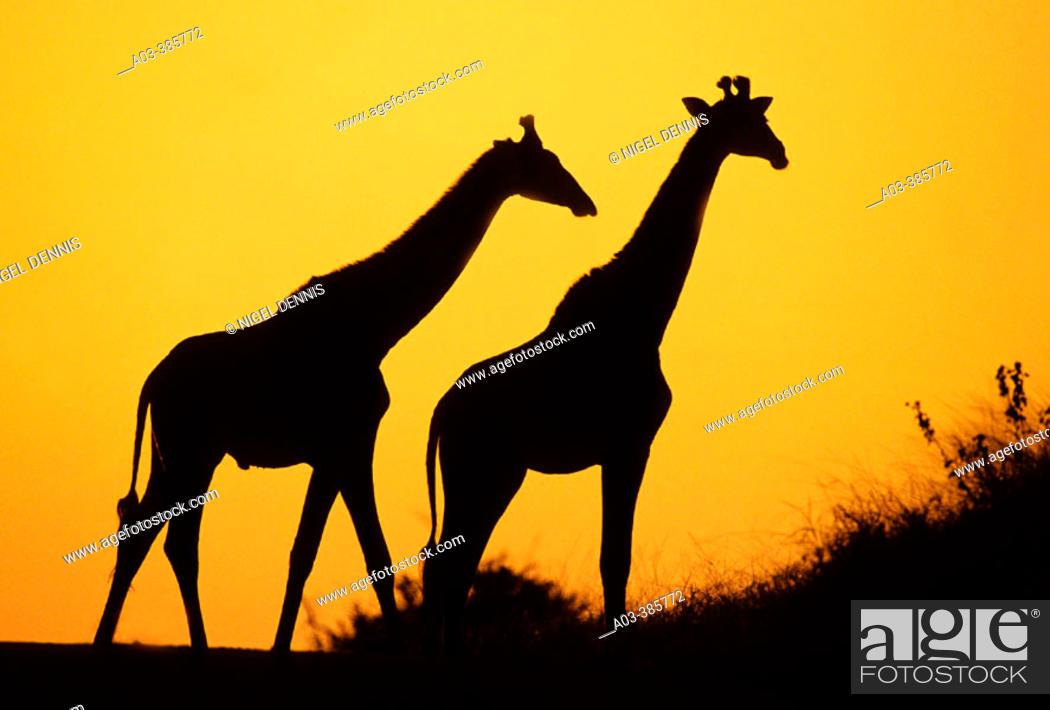 Stock Photo: Giraffe (Giraffa camelopardalis) at dusk. Kruger National Park, South Africa.