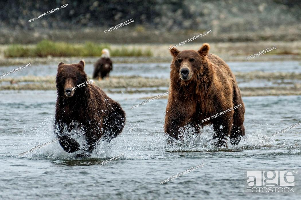 Imagen: A brown bear adult chases a sub-adult bear away from his salmon fishing grounds in the lower lagoon at the McNeil River State Game Sanctuary on the Kenai.