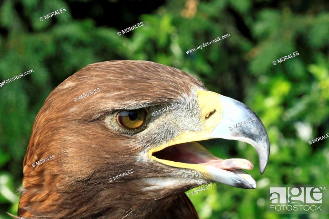Stock Photo: Golden Eagle Aquila chrysaetos Order : falconiformes family : accipitrides.