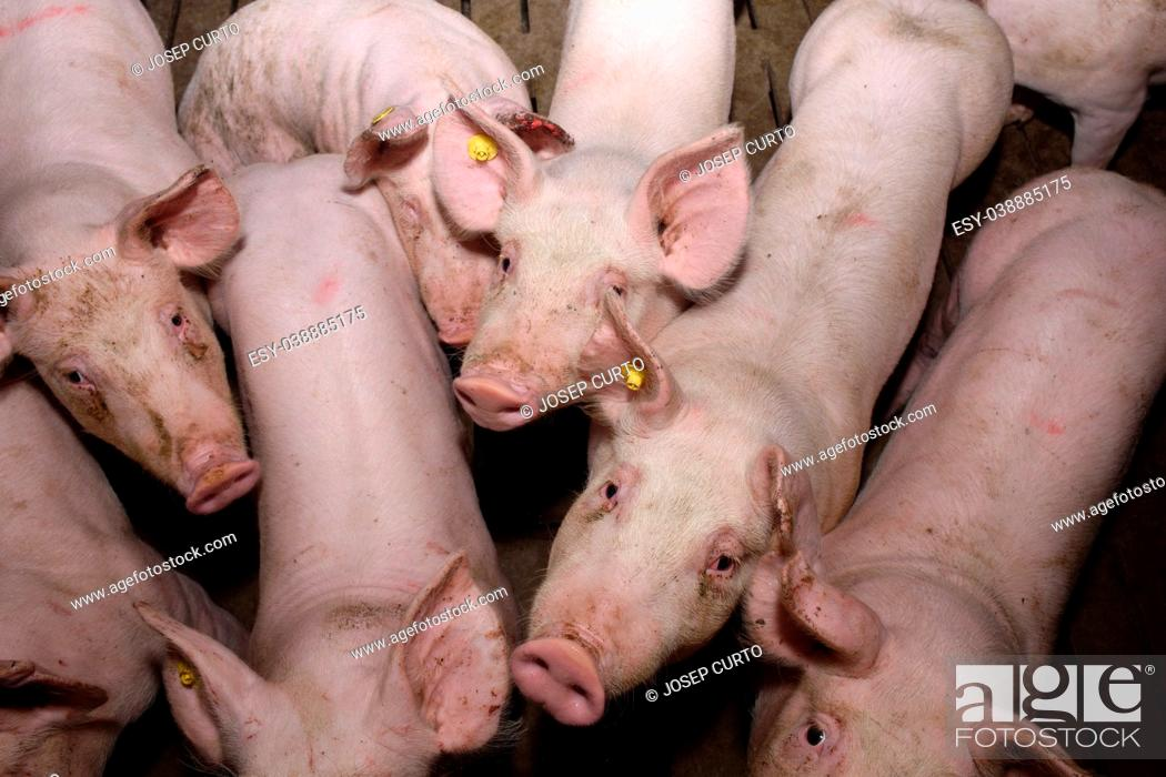 Stock Photo: inside of a farm of pigs.