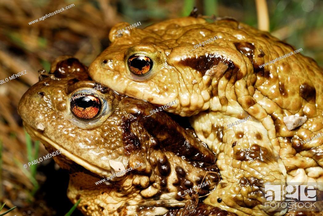 Stock Photo: European common toad (Bufo bufo) in amplexus near Nizna Revuca, Liptov region, Slovakia.