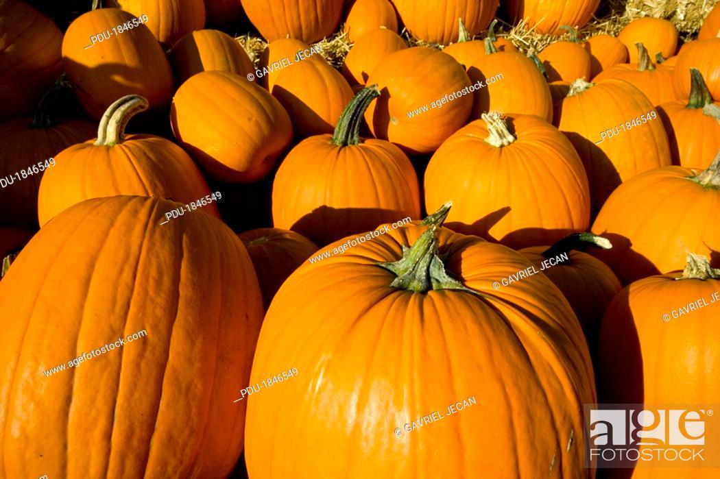 Stock Photo: Autumn Pumpkins.