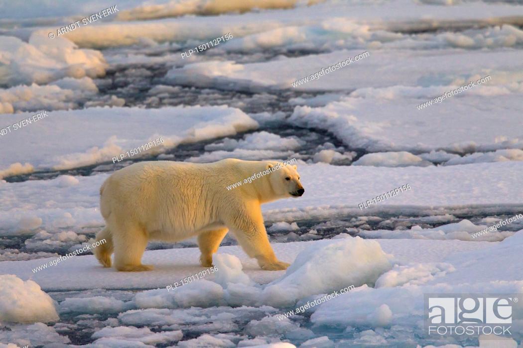 Photo de stock: Polar bear (Ursus maritimus / Thalarctos maritimus) walking on pack ice at sunset, Svalbard, Norway.