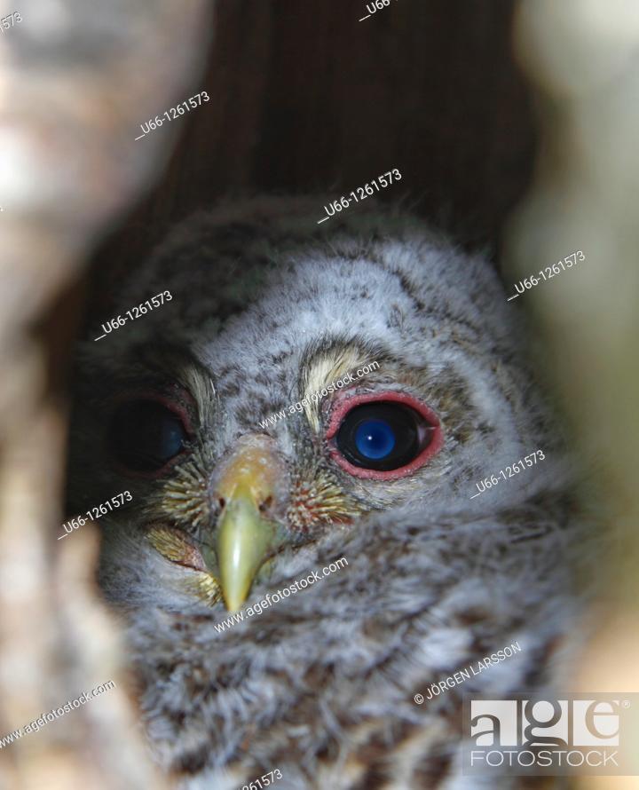 Stock Photo: Ural Owl in nest Värmland Sweden.