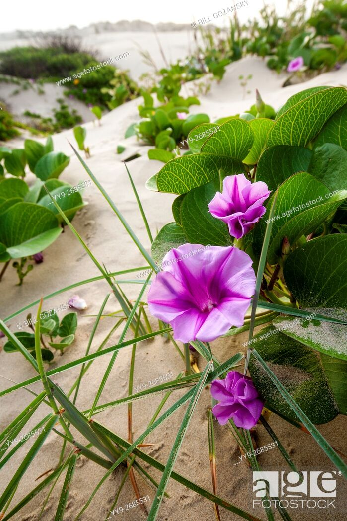 Stock Photo: Beach Morning Glory in the dunes on South Padre Island, Texas, USA.