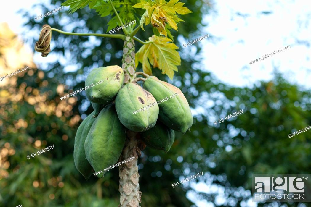 Stock Photo: Carica papaya tree growing in the north of Thailand.