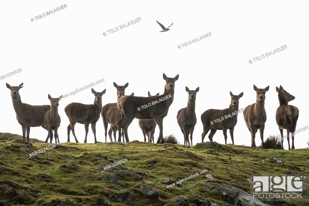 Imagen: ciervo rojo, Cervus elaphus scoticus, Parque Nacional de Cairngorms, Highlands, Escocia, Reino Unido.
