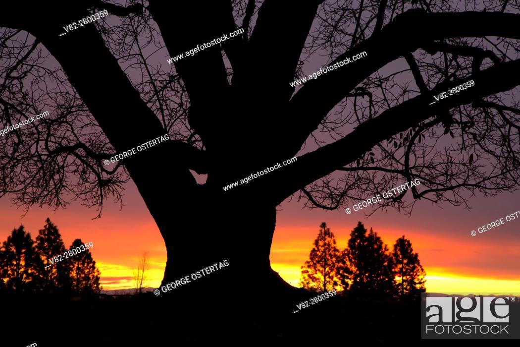 Stock Photo: Oregon oak (Quercus garryana) sunrise, Willamette Mission State Park, Marion County, Oregon.